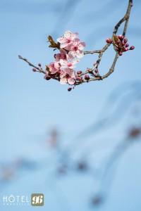 fleurs-rose-printemps-ciel-bleu